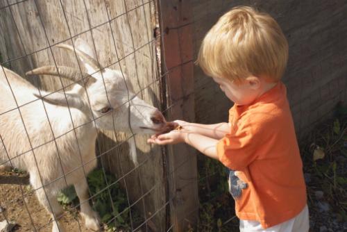 little-boy-feeding-goat