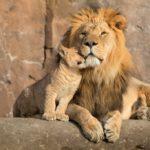 Lions-cuddling